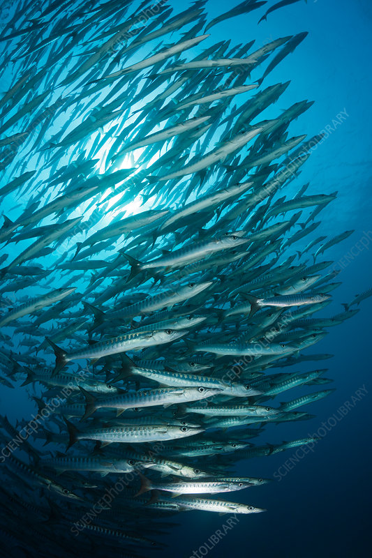 Shoal of Blackfin Barracuda