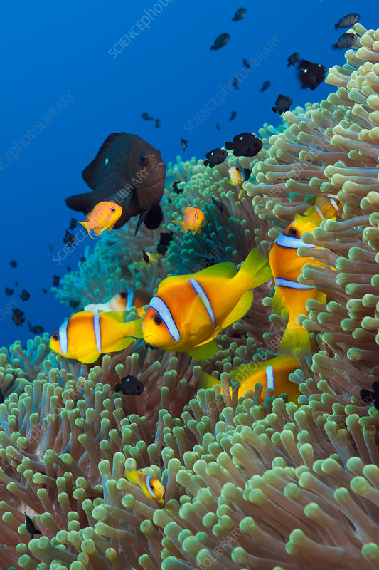 Twobar Anemonefish in Coral Reef
