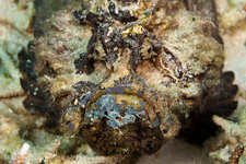 Reef Stonefish