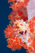 Soft Coral Spider Crab