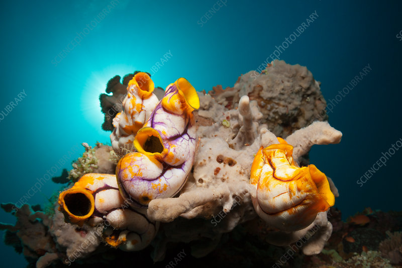 Golden Sea Squirts