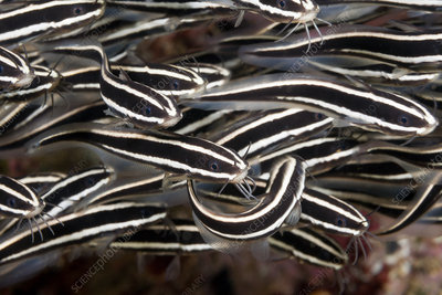 Shoal of Striped Eel Catfish