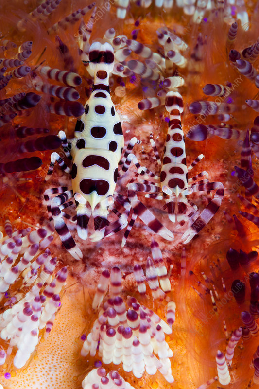 Pair of Coleman Shrimp on Fire Sea Urchin