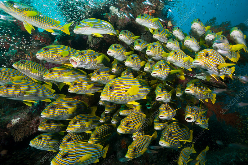 Shoal of Yellow-ribbon Sweetlips