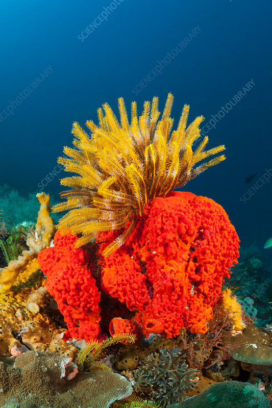 Crinoid on Red Sponge