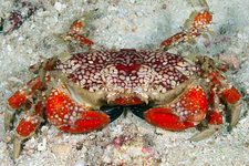 Splendid Round Crab