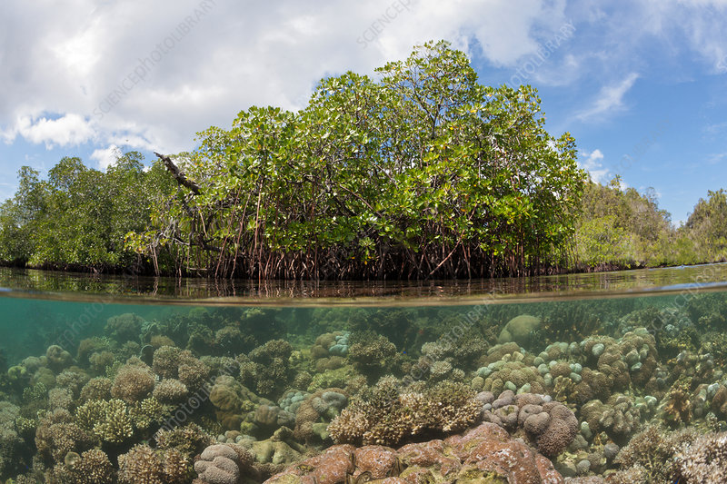 Corals growing under Mangroves