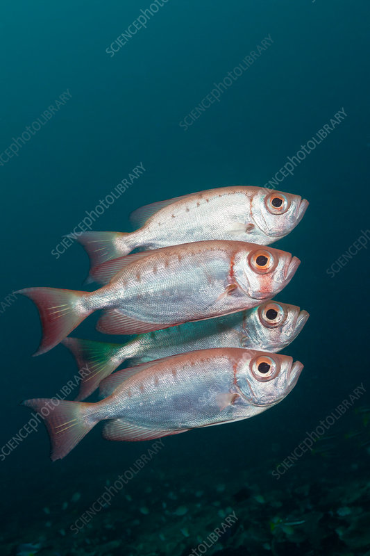 Shoal of Crescent-tail Bigeye