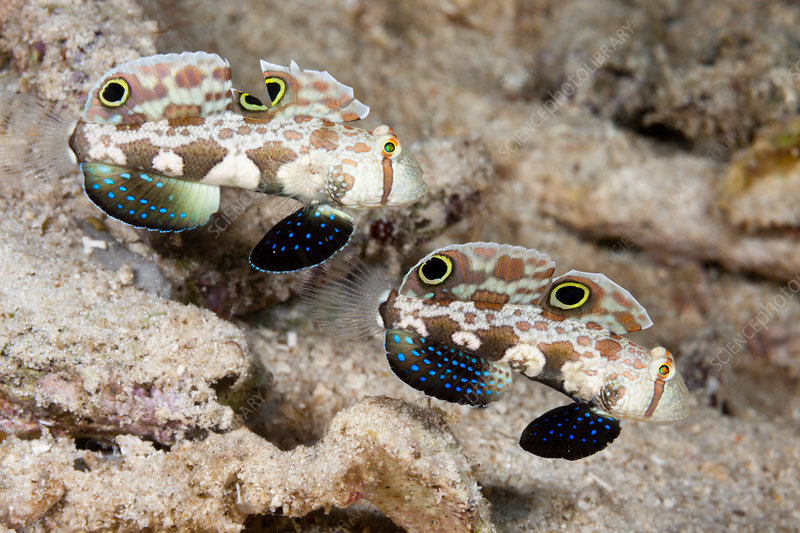 Pair of Crab-Eye Goby