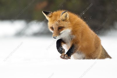 Red fox pouncing in snow