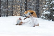 Red foxes interacting in snow