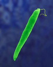 Euglena gracilis, fresh water green alga, SEM