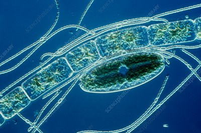 Cyanobacterium and green algae, LM