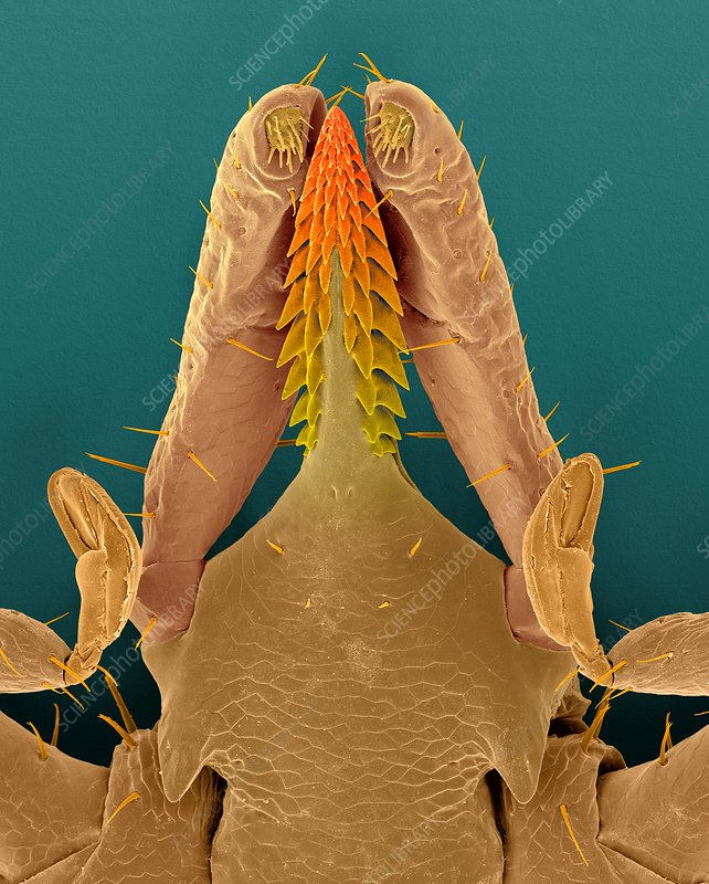 Deer tick head (Ixodes scapularis), SEM