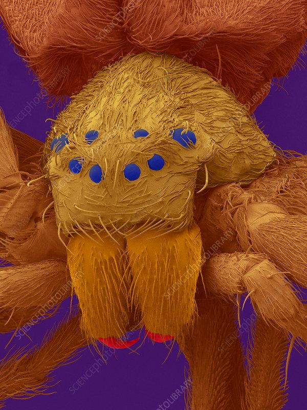 Diving bell spider (Argyroneta aquatica), SEM