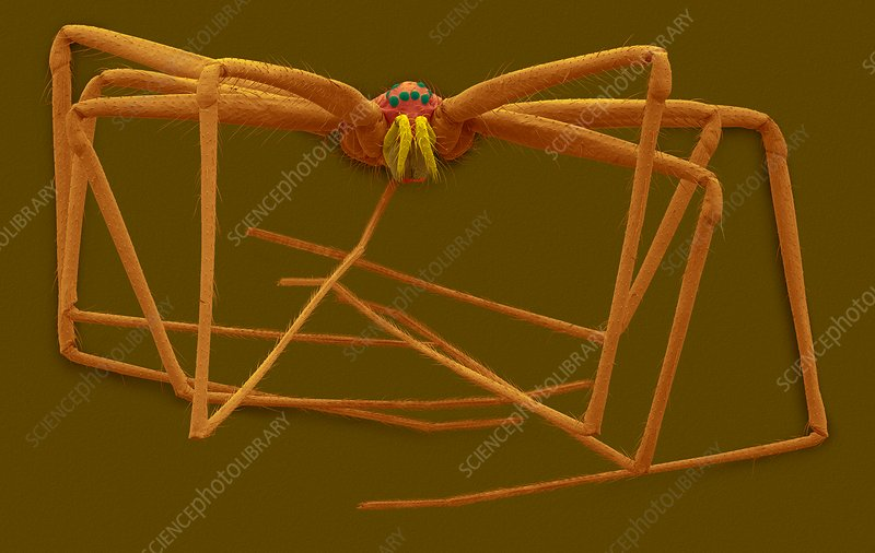 Cellar spider (Physocyclus mexicanus), SEM