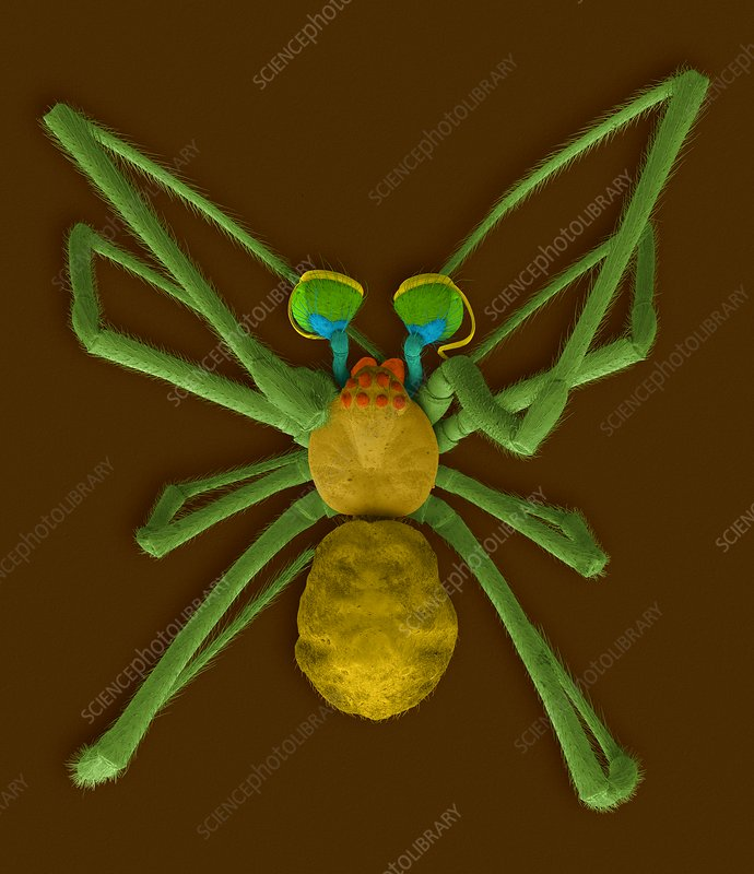 Male northern black widow spider, SEM