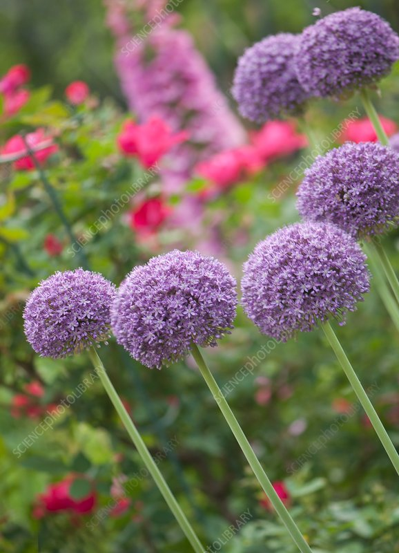 Ornamental onion (Allium 'Ambassador')