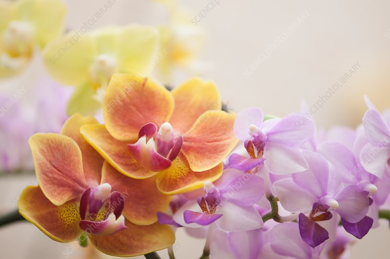 Phalaenopsis orchid hybrids ('Sweetheart' and 'SW')