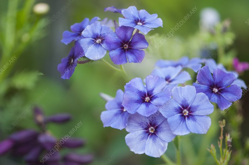 Blue phlox flowers (Phlox drummondii)
