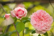 Rambling rose (Rosa 'Paul Transon')