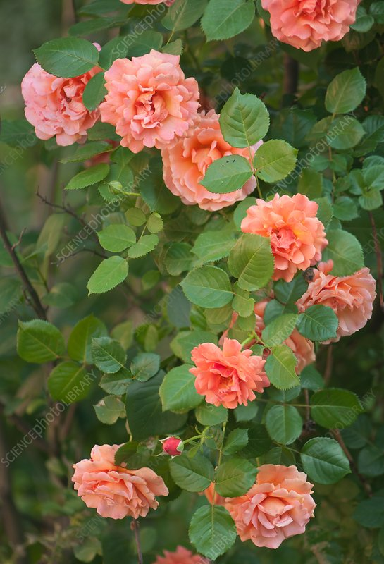 Hybrid rose (Rosa 'Easy Does It')