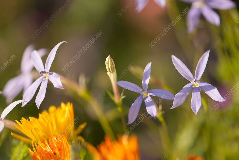 Isotoma axillaris and Calendula sp. flowers