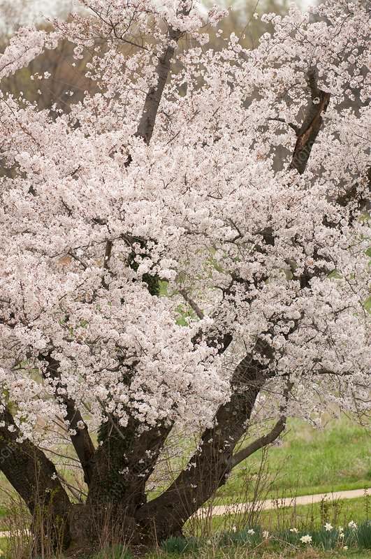 Japanese Yoshino cherry tree (Prunus x yedoensis)