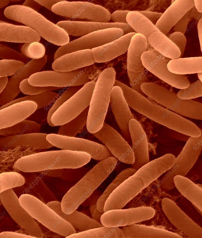 Pseudomonas syringae, Gram-negative, SEM