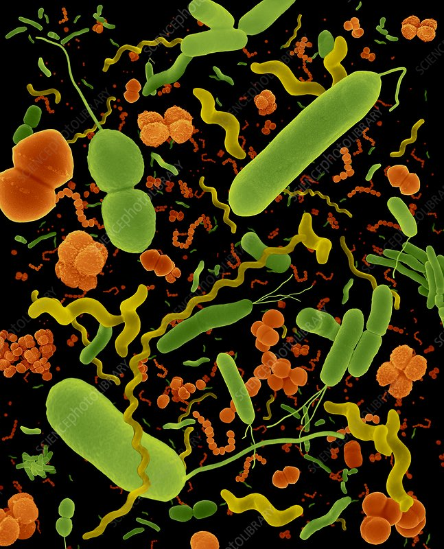 Common types of bacteria, SEM