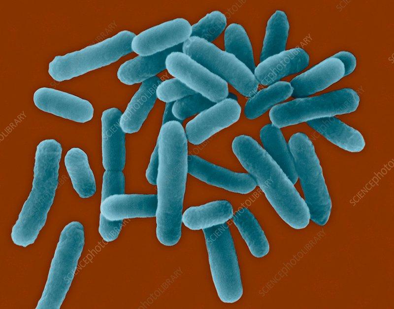 Legionella pneumophila, bacterium, SEM