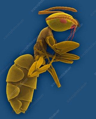 Odorous house ant, SEM