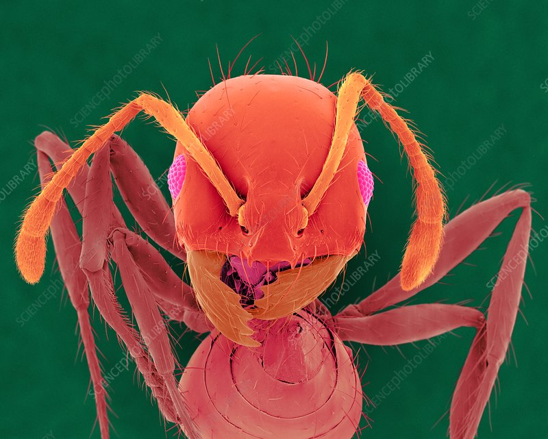 Red imported fire ant, SEM