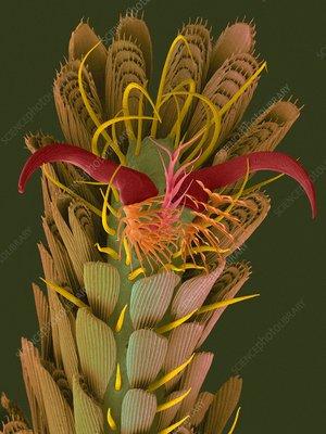 Bromeliad mosquito leg, SEM