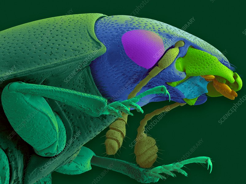 Carrion beetle, SEM