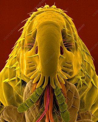 Cat flea, SEM