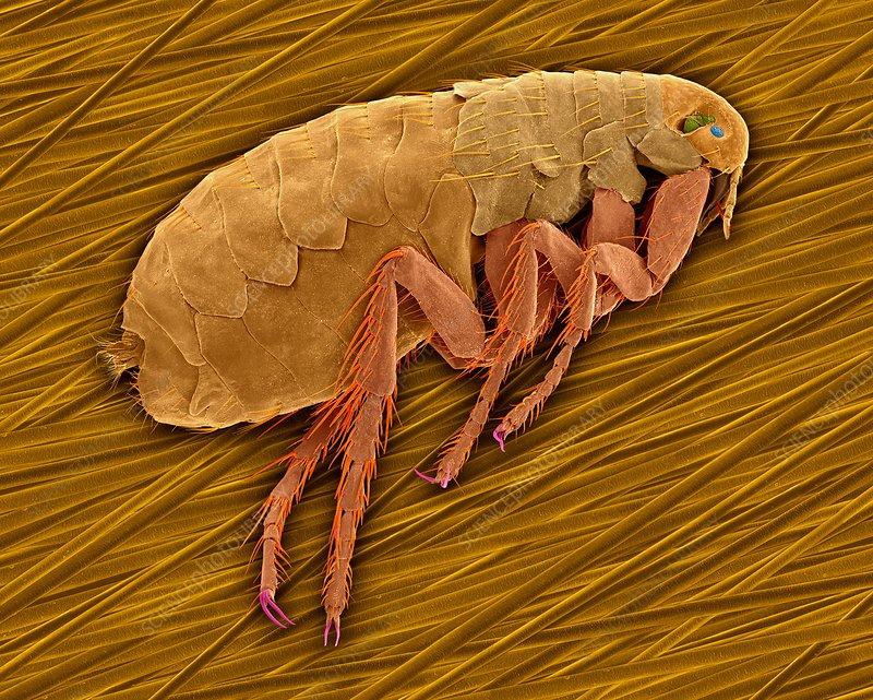 Mammal or false human flea, SEM