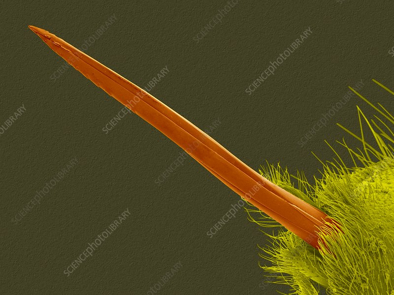 Yellow jacket wasp stinger, SEM