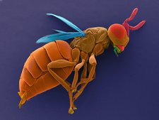 Male parasitic wasp, SEM