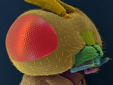 Parasitic wasp head, SEM