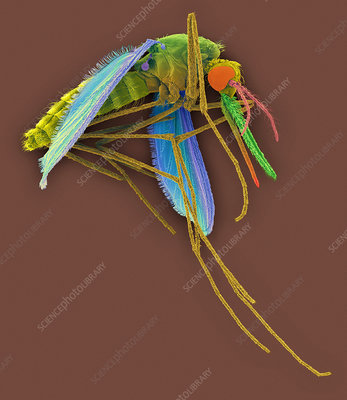 Anopheles stephensi, mosquito carrier of malaria, SEM