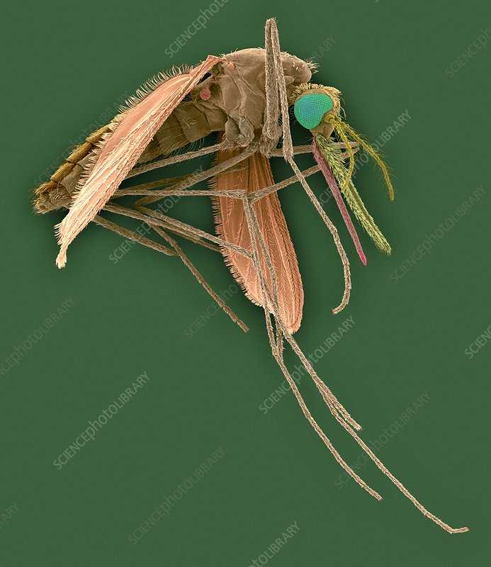 Anopheles stephensi, mosquito carrier of malaria, SEM