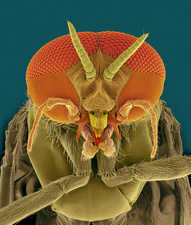 Black fly adult male head, SEM