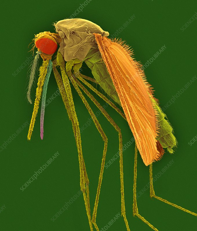 Anopheles gambiae, mosquito malaria carrier, SEM