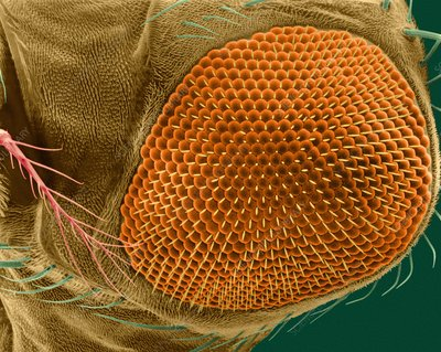 Fruit fly compound eye, SEM