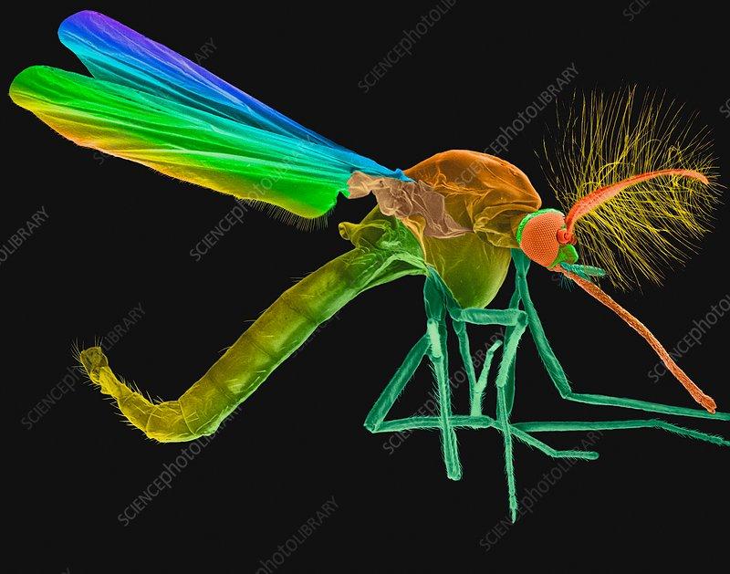 Male mosquito, SEM