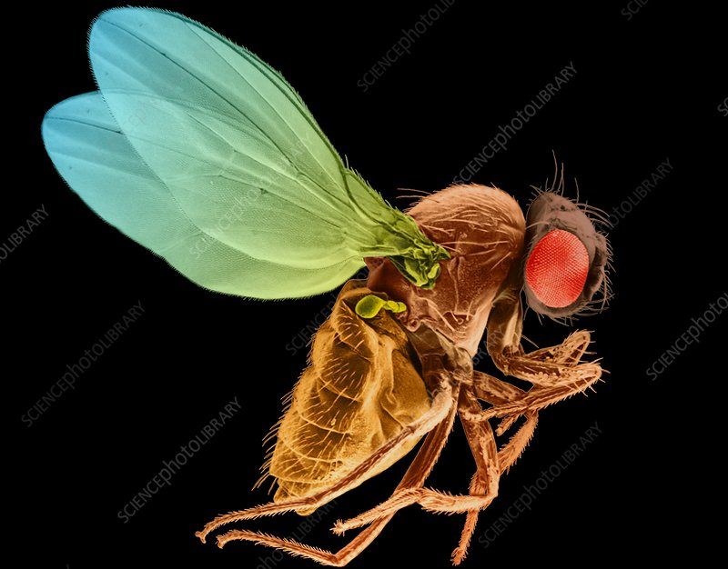 Fruit fly, SEM