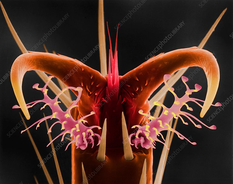 Fruit fly leg tarsus, claw, and pulvilli, SEM