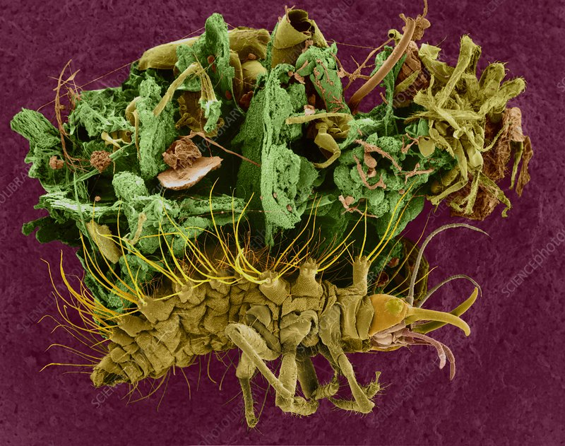Larval lacewing, SEM