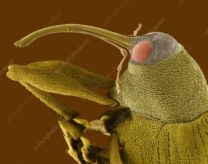 Snout or nut weevil, SEM